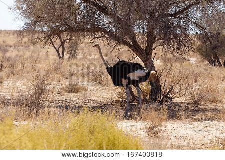 Ostrich (struthio Camelus), Kgalagadi, South Africa, Safari Wildlife