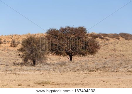 Dry Kalahari Desert Landscape, Kgalagady, South Africa Safari Wilderness