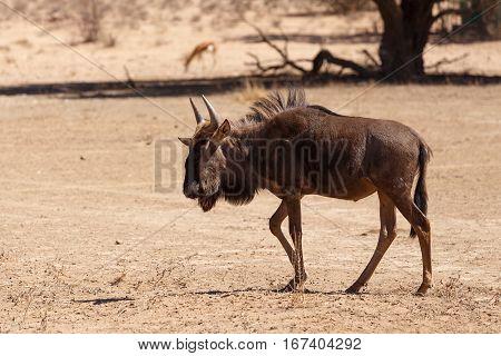 Gnu, Wildebeest On Kalahari Desert, Africa Safari Wildlife