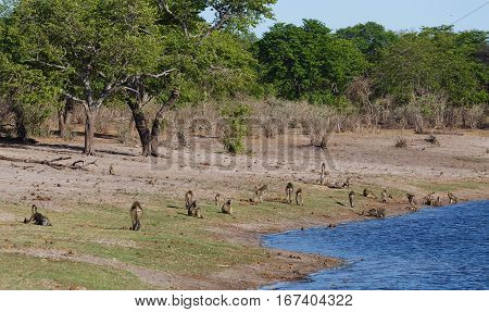 Monkey Chacma Baboon Family, Africa Safari Wildlife And Wilderness