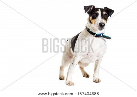 Fox terrier posing in studio on white background. Terrier in a blue collar. isolated
