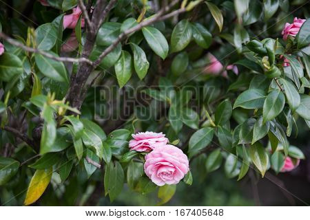 Beautiful pink colored roses seen hanging from a tree in a garden. The pink roses look fabulous and adoring. Green leaves of the plant are also seen surrounding the roses.