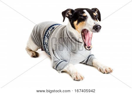 Fox terrier posing in studio on white background. Terrier dressed in a gray suit small. isolated