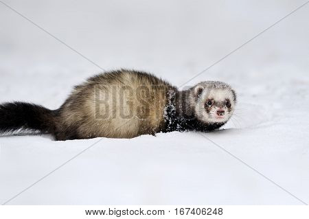Beautiful wild ferret game in winter day