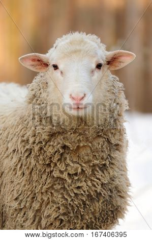 Close young sheep portrait in winter day