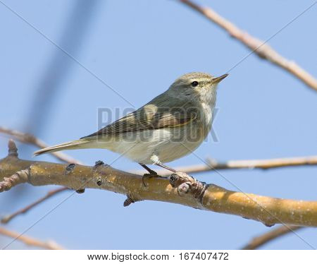Willow Warbler on the branch on blue sky background