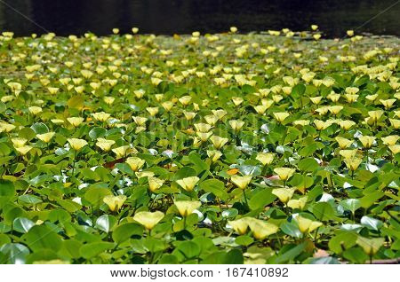 Yellow flowers of the aquatic water poppy Hydrocleys nymphoides growing in a river, Royal National Park, Sydney. Native to central and South America. Naturalised in Australia. Selective focus. poster