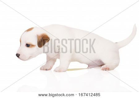 jack russell terrier puppy peeing on white background