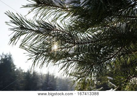 Pine branches in the winter forest. Winter background bokeh. The sun breaks through the pine needles. Winter background bokeh. close-up. Nature.
