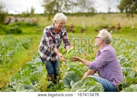 farming, gardening, agriculture, harvesting and people concept - senior couple picking cabbage at farm garden
