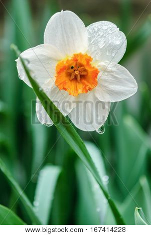 Bunch Flowered Narcissus