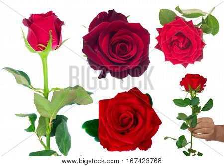 set with frsh dark red roses isolated on white background