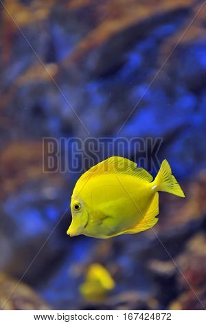yellow tropical fish in water, close up