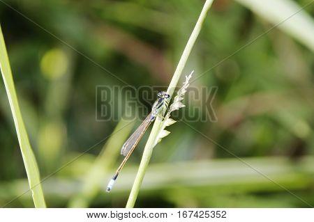 Lightweight colorful Damselfly on a grass stem