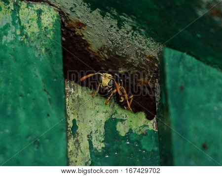 Wasp Male Peeking Out Of Hiding. The Marriage Between Wasps Polistes.