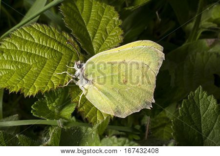 Yellow Brimstone butterfly Gonepteryx rhamni sitting on bramble leaf