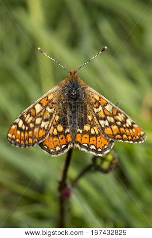 Marsh Fritillary butterfly Euphydryas aurinia on Salad Burnet with wings open