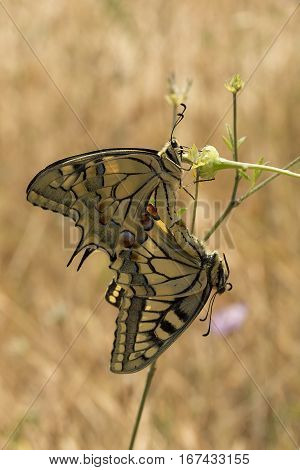 Two swallowtail butterflies Papilio machaon hanging off flowerhead mating with blurred background