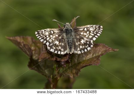 Tiny Grizzled Skipper butterfly Pyrgus malvae on bramble leaf with wings open