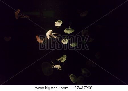 Jellyfishes in an aquarium swim and glow in the dark