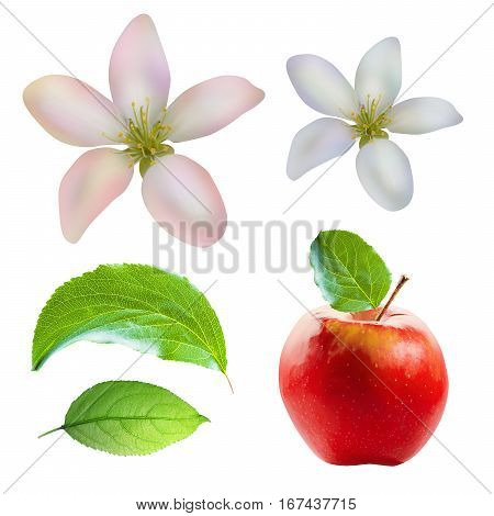 Red apple, leaves and flowers pattern isolated on white background with clipping path. Two apple leaves isolated. One red apple isolated. Two apple flowers isolated.