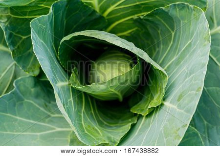 Organic Cabbage. Fresh Green Head of Cabbage on the Field.