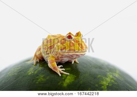 Argentine Horned Frog (Ceratophrys ornata) is on watermelon also known as the Argentine wide-mouthed frog or ornate pacman frog from the grasslands of Argentina Uruguay and Brazil. poster