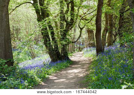 Bluebells in the woods East Sussex England