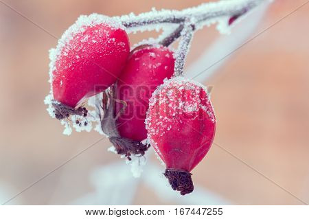 red briar on the branch covered by hoarfrost, close up