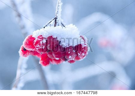 red viburnum on the branch covered by hoarfrost, close up