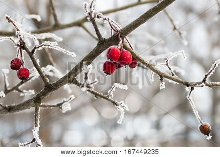 red wild apples on the branch covered with hoarfrost