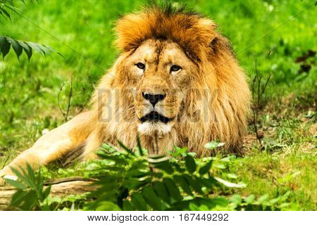 Lion male. Panthera leo. Wild animal and wildlife