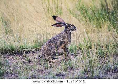 Jackrabbit sitting in a grassy meadow looking at something