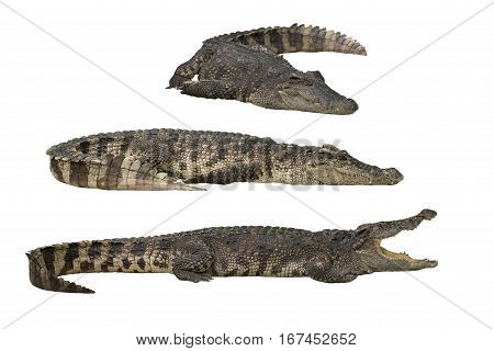 Crocodile or alligator isolated on white background