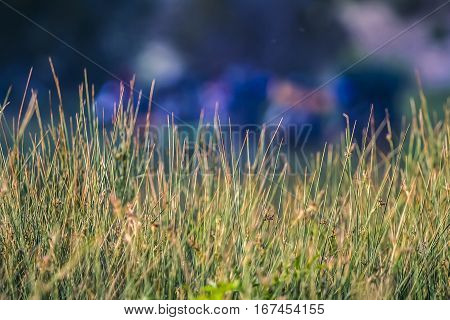 Prarie grass in a meadow in the mountains