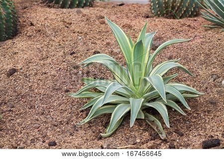 Agave americana. Green leaves plant in desert garden.