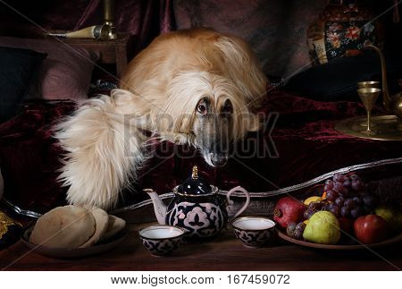 Afghan hound dog (four years old) lying on the carpet in the Arab style interior and looking forward