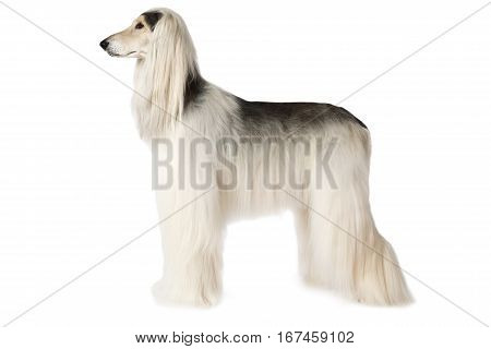 White thoroughbred Afghan hound dog standing in show position isolated on white background
