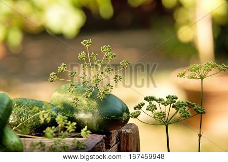 detail of cucubers and dill on the wooden crate