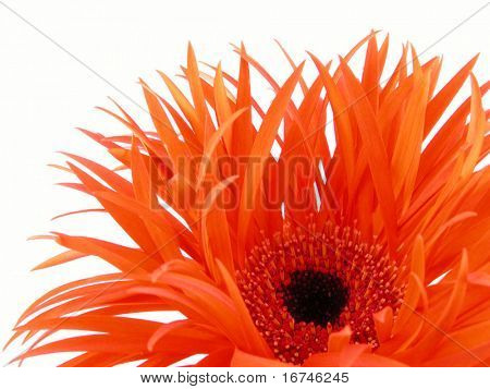 Nahaufnahmen von ziemlich orange Gerbera auf weißem Hintergrund