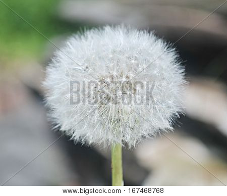 dandelion close-up. Dandelion in the center of the picture
