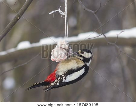 Female Great Spotted Woodpecker Dendrocopos major on fat ball close-up portrait selective focus shallow DOF
