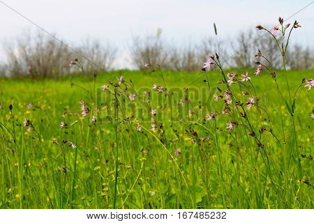 Coronaria flos-cuculi (Lychnis flos-cuculi) flowers on meadow