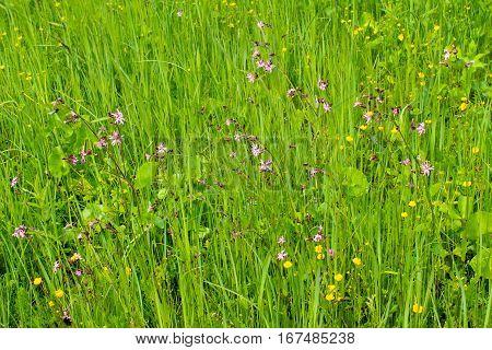 Coronaria flos-cuculi (Lychnis flos-cuculi) flowers on meadow poster