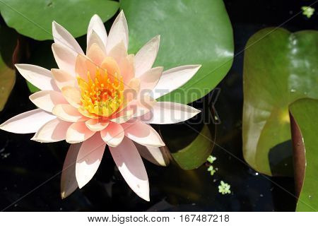 Lotus flower on the water with waterlily