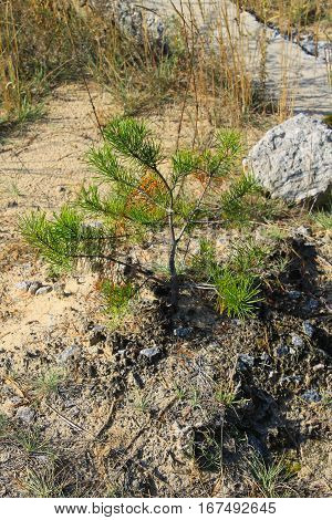 Pine tree sapling growing in a forest