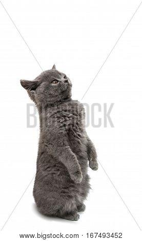 British gray kitten isolated on white background