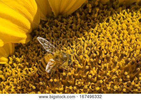 A bee is hard at work on a sunflower in this macro image.