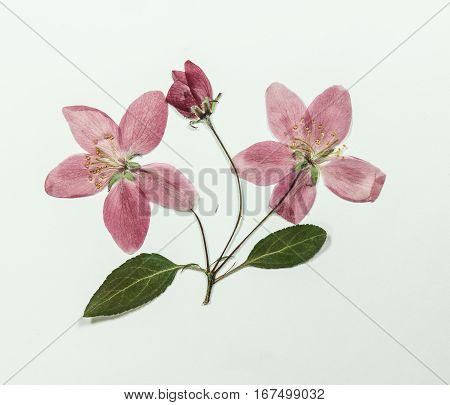 Pressed and dry bright pink flowers of apple on branch with leaves. Isolated on white background. For use in scrapbooking pressed floristry (oshibana) or herbarium.