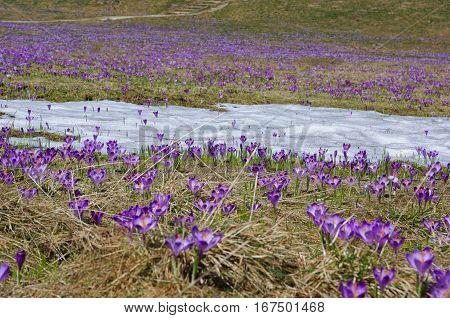 Crocuses on a mountain meadow. Tatry. Poland